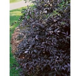 Sambucus nigra ´Black Beauty´/ Bez černý ´Černá krasavice´, 30-40 cm, C2