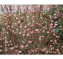 Viburnum bodnantense ´Dawn´ / Kalina, 60-80 cm, C2