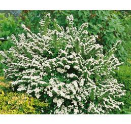 Spiraea japonica ´Snowmound´ / Tavolník japonský, 30-40 cm, C2