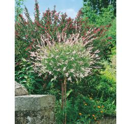 Salix integra ´Hakuro Nishiki´ / Vrba japonská, 80 cm kmínek, C3