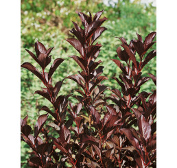 Weigela florida ´Alexandra´® / Vajgélie květnatá, 30-40 cm, C1,5