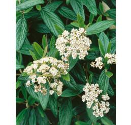 Viburnum pragense / Kalina pražská, 20-30 cm, C1,5
