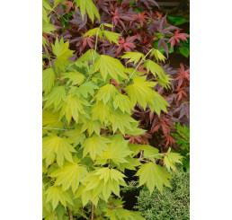 Acer shirasawanum ´Aureum´ / Javor shirasavanský, 40-50 cm, C3