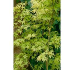 Acer palmatum ´Seiryu´ / Javor dlanitoklaný, 40-50 cm, C3