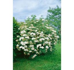 Sambucus nigra / Bez černý, bal. 10 ks VK na živý plot