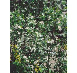 Aronia melanocarpa ´Hugin´ / Temnoplodec černoplodý, 80-100 cm, K11