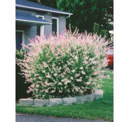 Salix integra ´Hakuro Nishiki´ / Vrba japonská, keř, K9
