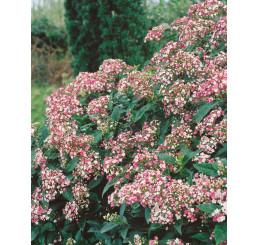 Viburnum tinus ´Eve Price´ / Kalina, 25-30 cm, K11