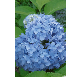 Hydrangea macrophylla ´Nikko Blue´ / Hortenzie velkolistá , C2