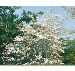 Cornus florida / Svída květnatá / Dřín, 40-50 cm, C2