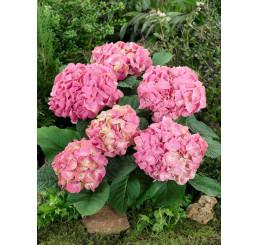 Hydrangea macrophylla / Hortenzie velkolistá růžová, 20-30 cm, K9