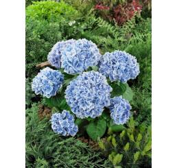 Hydrangea macrophylla 'Peppermint'® / Hortenzie velkolistá, C2