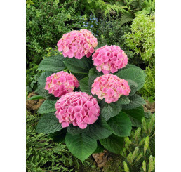 Hydrangea macrophylla 'Xian'® / Hortenzie velkolistá, 15-20 cm, C3