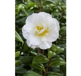 Camellia ´White´ / Kamélie bílá, 30-40 cm, C1,5