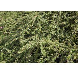Cotoneaster ´Coral Beauty´ / Skalník rozložený, 25-30 cm, K9