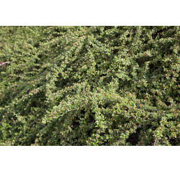 Cotoneaster ´Coral Beauty´ / Skalník rozložený, 10-20 cm, K9