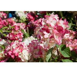 Hydrangea paniculata 'Diamantino'® / Hortenzie latnatá, C2