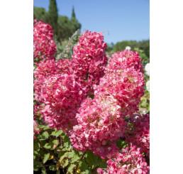 Hydrangea paniculata 'Diamant Rouge'® / Hortenzie latnatá, 30 cm, C4