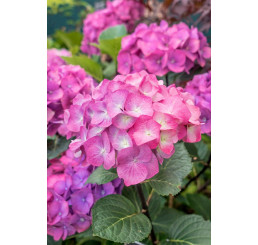 Hydrangea macrophylla ´Leuchtfeuer´ / Hortenzie velkolistá růžová, C2