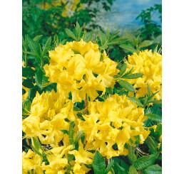 Rhododendron (AK) ´Anneke´ / Pěnišník/ Rododendron, C4