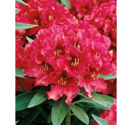 Rhododendron hybr. ´Nova Zembla´ / Pěnišník červený, 20-30 cm, K13
