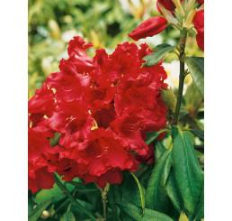 Rhododendron hybr. ´Nova Zembla´ / Pěnišník červený, 50-60 cm, C5