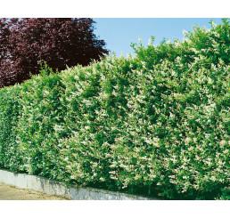 Ligustrum ovalifolium / Ptačí zob vejčitolistý, bal. 10 ks VK na živý plot, 80-100 cm, (3-5 výh.)