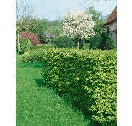 Carpinus betulus / Habr obecný, bal. 10 ks VK na živý plot