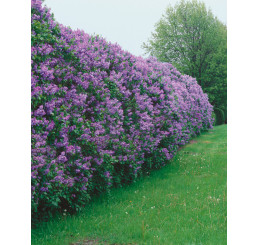 Syringa vulgaris / Šeřík obecný, bal. 10 ks C1,5 na živý plot