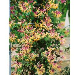 Lonicera caprifolium / Zimolez, 80 cm, C2