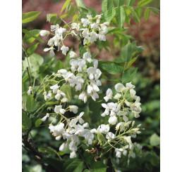 Wisteria sinensis ´Alba´ / Vistárie bílá, 50-60 cm, C2