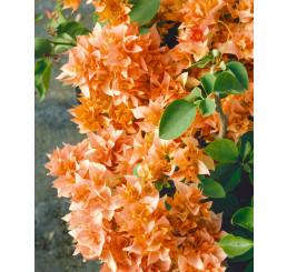 Bougainvilea glabra ´Orange´ / Bugénvilie oranžová, K9