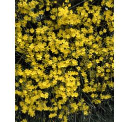 Jasminum nudiflorum / Jasmín nahokvětý, 10-15 cm, K9