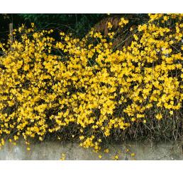 Jasminum nudiflorum / Jasmín nahokvětý, 50-60 cm, C1,5