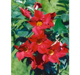 Mandevilla Sundaville® Classic Red / Mandevila červená, 40 cm vyvázaná, C2