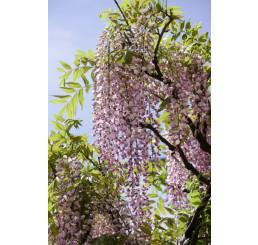 Wisteria sinensis ´Honbeni´ / Vistárie růžová, 80 cm, C2