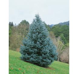Abies concolor / Jedle ojíněná, 10-15 cm, K9