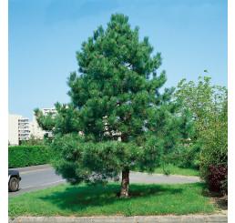 Pinus nigra ´Nigra´ / Borovice černá pravá,30-40 cm, C1,5