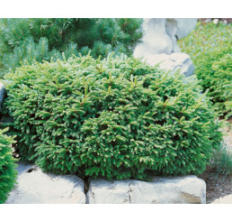 Picea abies ´Nidiformis´ / Smrk ztepilý , 12-15 cm, C1,5
