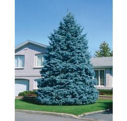 Picea pungens ´Glauca´ / Smrk pichlavý , 60-70 cm, C5