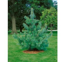 Pinus wallichiana / Borovice himalájská, 20-30 cm, K9