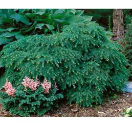 Tsuga canadensis ´Jeddeloh´ / Jedlovec kanadský, 25-30 cm, C3