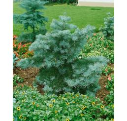 Abies concolor ´Compacta´ / Jedle ojíněná, 10-15 cm, K9