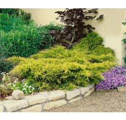 Juniperus chinensis ´Old Gold ´ / Jalovec čínský, 8-10 cm, K9