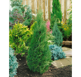 Juniperus chinensis ´Spartan´ / Jalovec čínský , K11