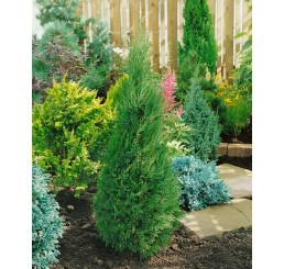 Juniperus chinensis ´Spartan´ / Jalovec, 20-30 cm, C1,5
