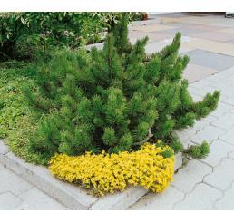 Pinus mugo mughus / Borovice kleč, 15-20 cm, C2