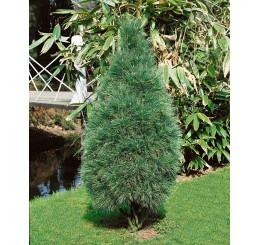Pinus strobus ´Fastigiata´ / Borovice vejmutovka, 10-15 cm, C1,5