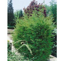 Cupressocyparis leylandii ´Green´ / Cypřišovec Leylandův, bal. 10 ks na živý plot, 25-30 cm, 10xK9