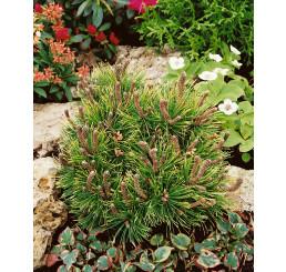 Pinus mugo ´Ophir´ / Borovice kleč, 30-35 cm, C7,5